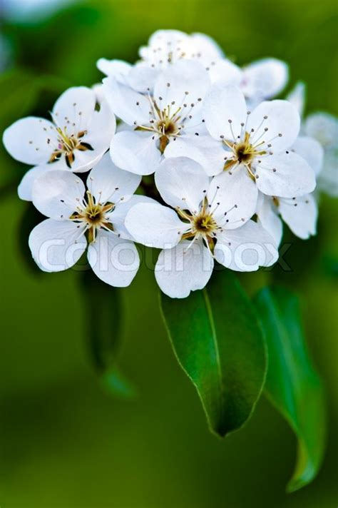 apple tree blossom white flowers on a green leaves