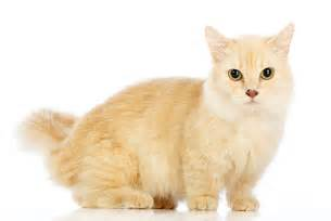 a cat for 7 facts about munchkin cats mental floss