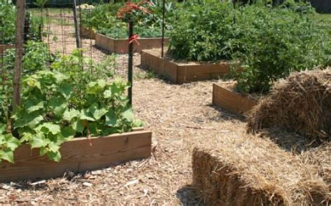 straw mulch vegetable garden summer soil mulch and compost tips of