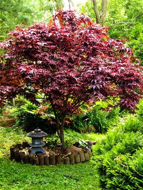 maple tree zone japanese maple the tree center