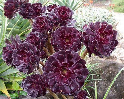 gardensonline aeonium arboreum syn megalonium