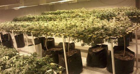 culture de cannabis en int 233 rieur 3 233 tudes de cas tr 232 s pratiques