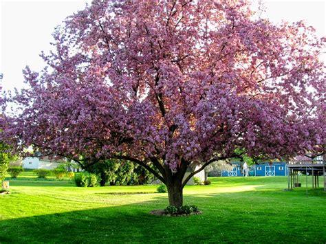cherry tree vs cherry blossom tree 187 flowering trees photos