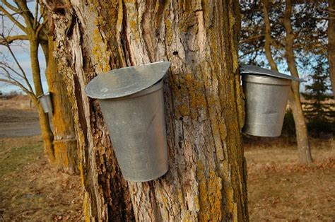 when gold flows from trees maple syrup