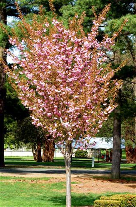 cherry tree b b ballyconnell flowering trees for landscaping inspiration