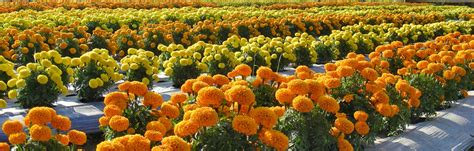 marigold flower garden medicinal benefits of flower marigold