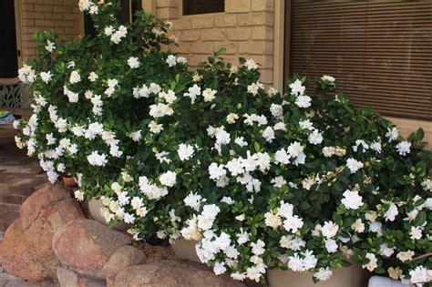 Gardenia Bush Trusting Skybax Heaven Scent
