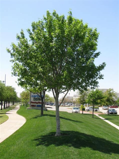 maple tree small yard plant two maple trees spaced evenly in the front easement exterior maple