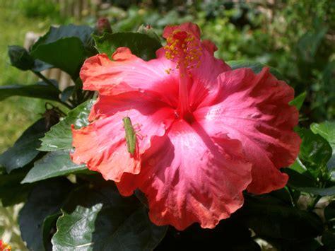 l hibiscus en pot