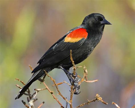 black bird winged blackbird audubon field guide