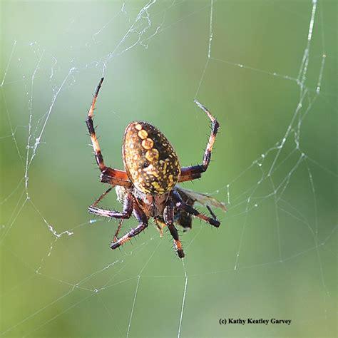 Garden Spider Prey Posts Tagged The Uc Davis Department Of