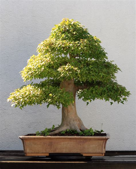 file trident maple bonsai 202 october 10 2008 jpg wikimedia commons