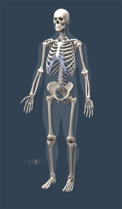 a skeleton solid 3d skeleton model