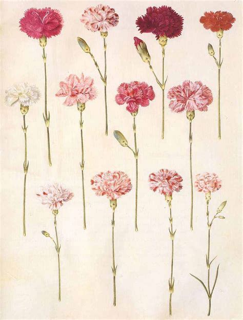 dianthus carnation tattoos pinterest mom births and