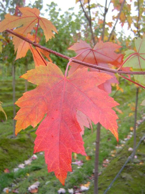 maple tree leaves autumn blaze maple tree autumn crafts picture