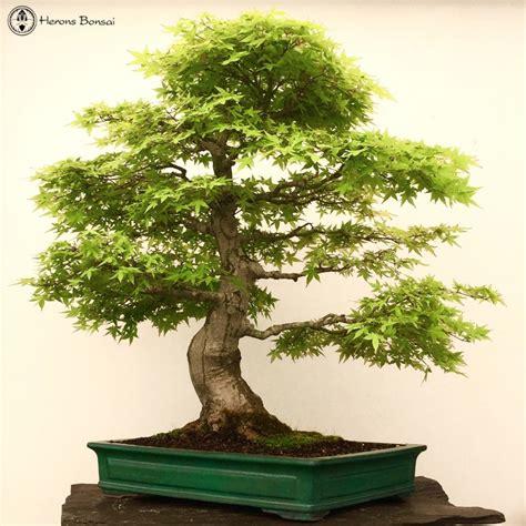 maple bonsai tree uk acer palmatum japanese maple specimen