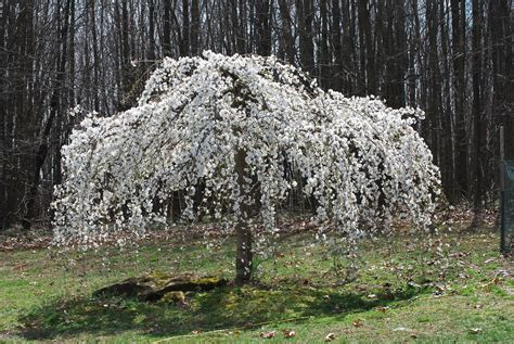 cherry tree weeping caring for a white weeping cherry tree feathers in the woods