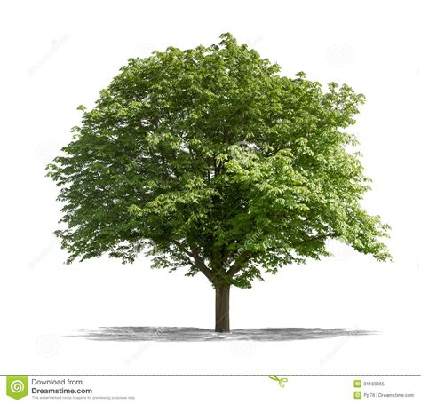 green tree on a white background stock image image 31183365