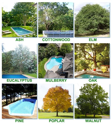 trees best best worst trees to plant around a pool intheswim pool