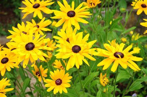 yellow garden flower beautiful yellow garden flowers stock photo colourbox