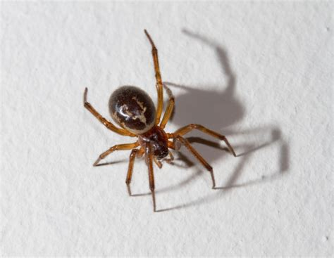 Garden Spider False Widow What Is A False Widow Spider Do We Them In The Uk