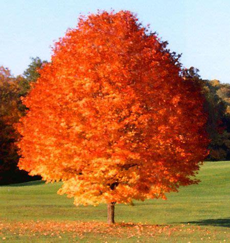 maple tree growing tips october maple tree tree tips maple tree growing tree and fast growing