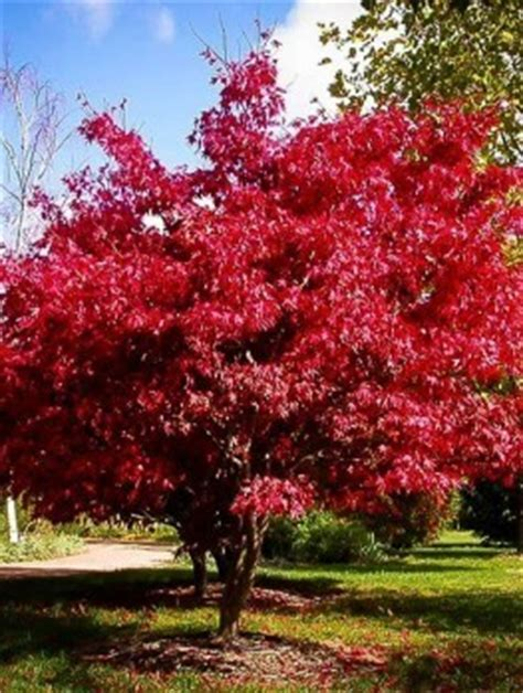 maple tree all year japanese maple trees buy japanese maple trees the tree center