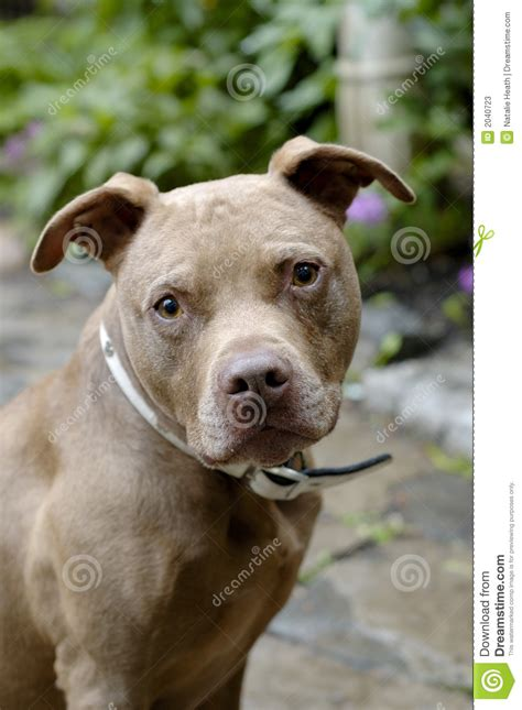 brown pit brown pit bull stock photos image 2040723