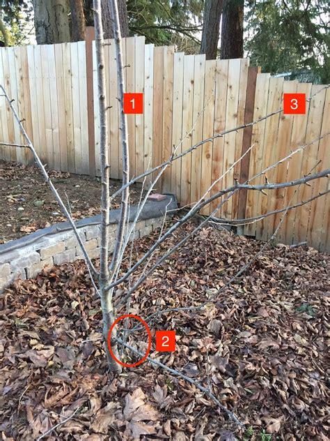 cherry tree pruning problems gardening landscaping stack exchange