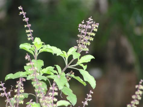indian plant tulsi basil plant and hindu worship some facts
