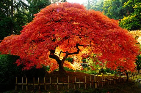 japanese maples jamestown gazette