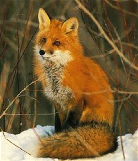 search fox 1000 images about fox on fox foxes and