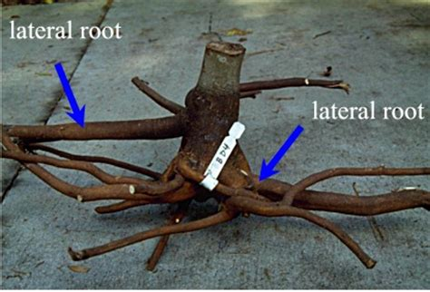 root depth root growth after planting roots landscape plants edward f gilman uf ifas