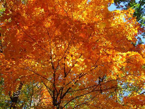 maple tree in fall file fall orange maple tree west virginia forestwander jpg