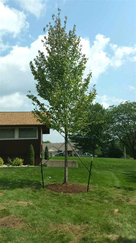 20ft maple fort wayne trees