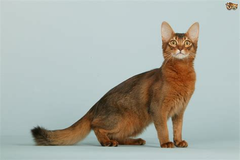 for cats somali cat breed information buying advice photos and