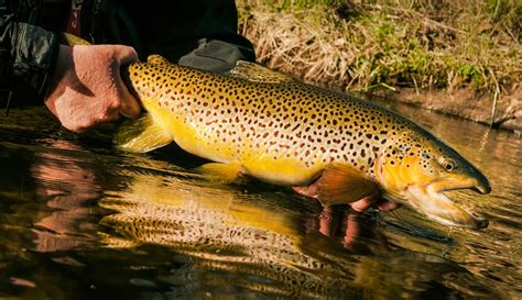 fishing trout how to caych a trophy brown trout fly fishing gink and