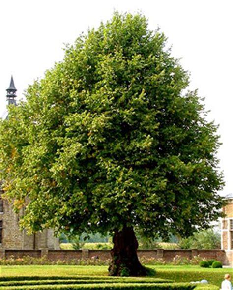 lime tree lime trees
