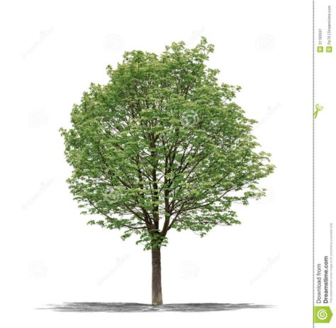 tree in white green tree on a white background stock image image 31183591