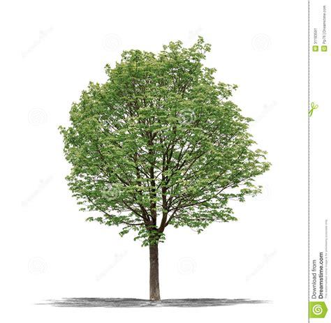 tree on white green tree on a white background stock image image 31183591