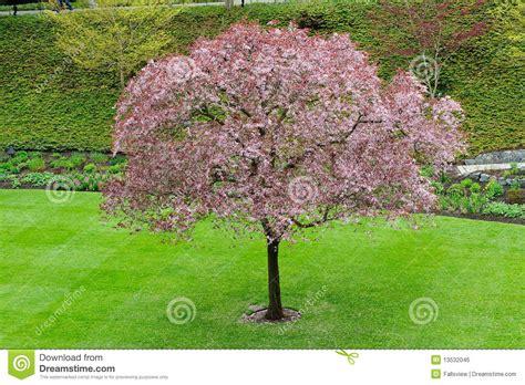 cherry tree blossom stock photo image of flora flower 13532046