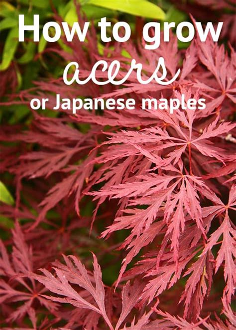 maple tree growing tips how to grow acers or japanese maples april plant of the month