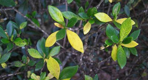 Gardenia Bush Yellow Leaves Yellow Leaves And Insects Pester Gardenias Northescambia