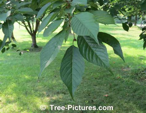 cherry tree identification cherry leaf identification picture