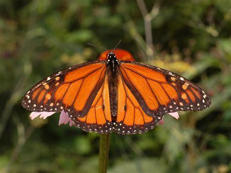 a butterfly file monarch butterfly danaus plexippus 2664px jpg