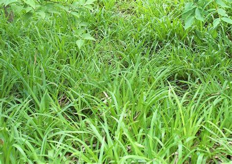 niedrige ziergräser sorten bodendecker gr 228 ser f 252 r schatten winterharte immerg 252 ne
