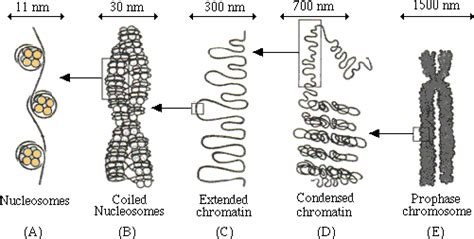 bead like proteins around which dna coils untitled document education edu