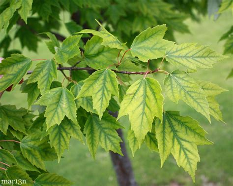 maple tree problems sunset maple acer rubrum franksred american insects spiders