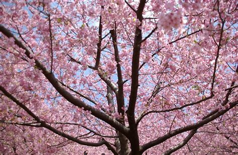 10 interesting facts about cherry blossom global blue