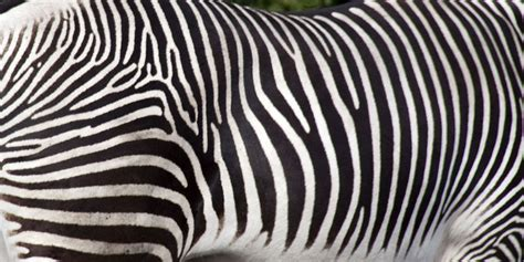 zebra stripes zebra stripes may confuse blood flies the